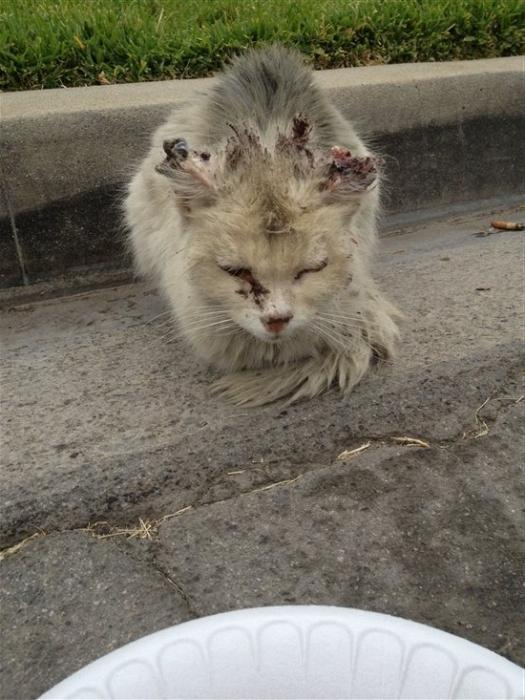 Признаки бешенства у котов симптомы