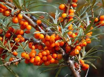 sea ​​buckthorn candles