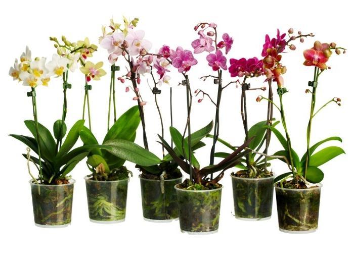 Орхидеи уход в домашних условиях размножение пересадка