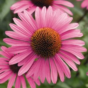 echinacea tincture reviews