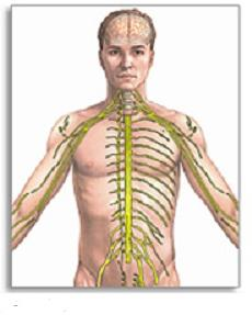 the autonomic nervous system is responsible for