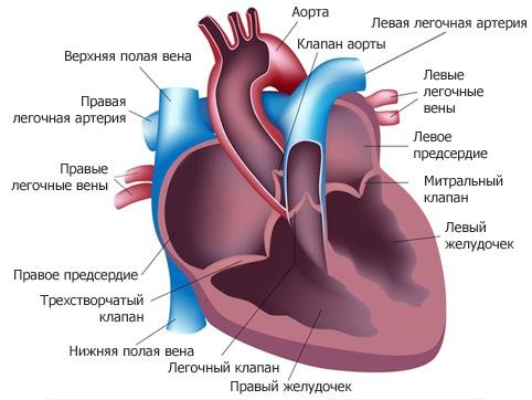 external structure of the heart