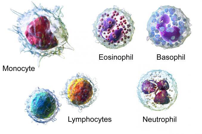 Лейкоцитарная формула: категории клеток и клиническое значение
