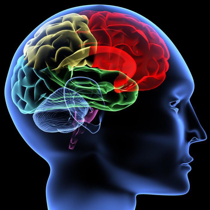 отделы головного мозга человека