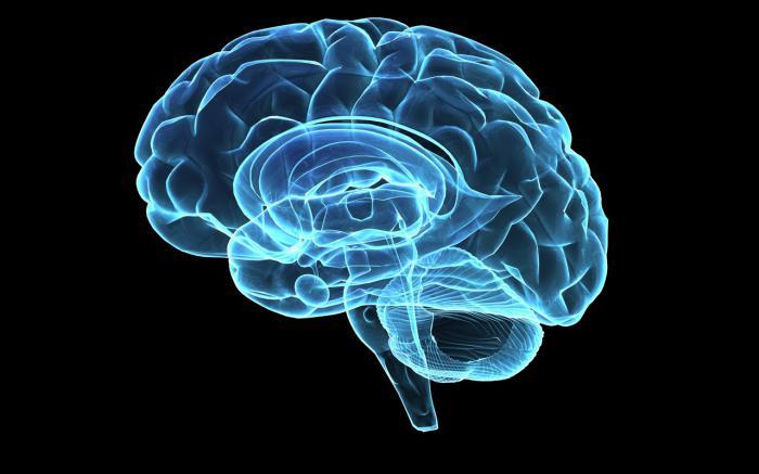 Отделы головного мозга их строение и