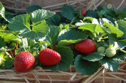 after which to plant strawberries