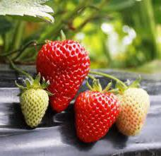 when is it best to plant strawberries
