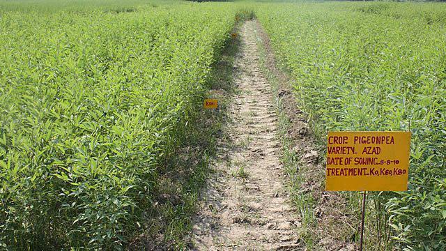 Горчица - хороший сидерат Почвы и удобрения 63