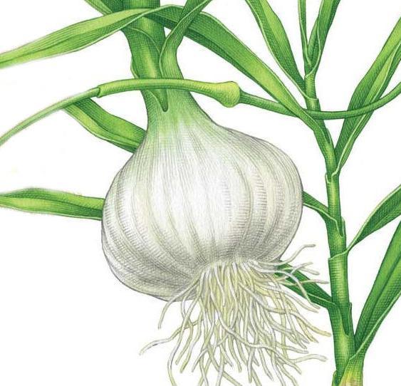как выращивать чеснок