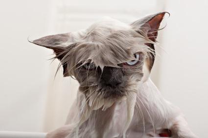 как помыть кота первый раз