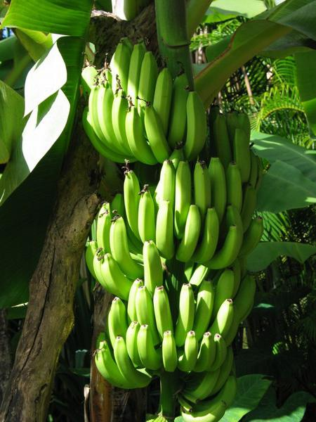 in which countries grow bananas