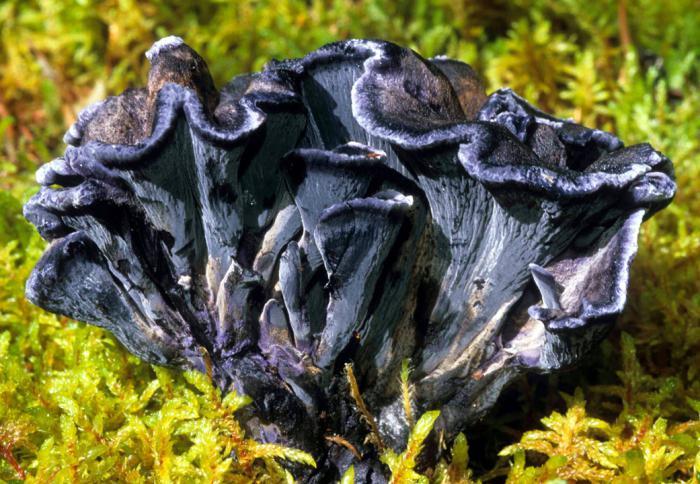 грибы лисички как лекарство от холестерина