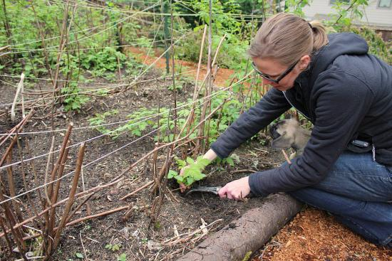 how to plant raspberry cuttings