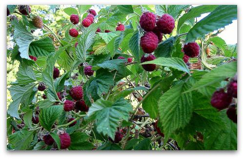 raspberry seedlings how to plant