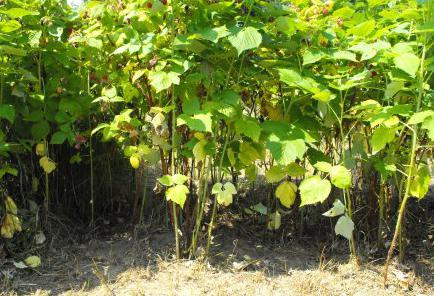 how to plant a raspberry