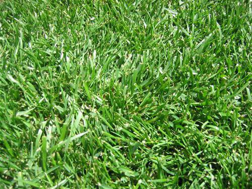 best lawn grass