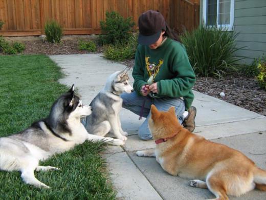 Как дрессировать щенка? Как правильно дрессировать щенка, с какого возраста