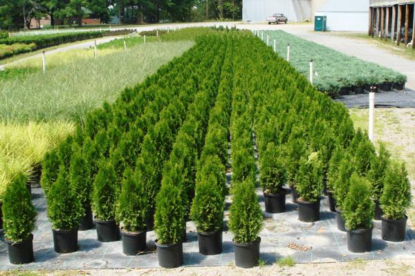 how to plant thuja in the country