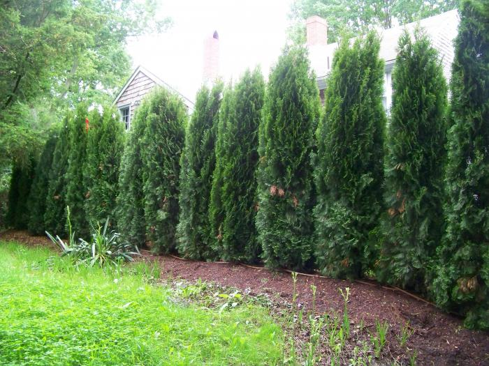 how to plant thuja