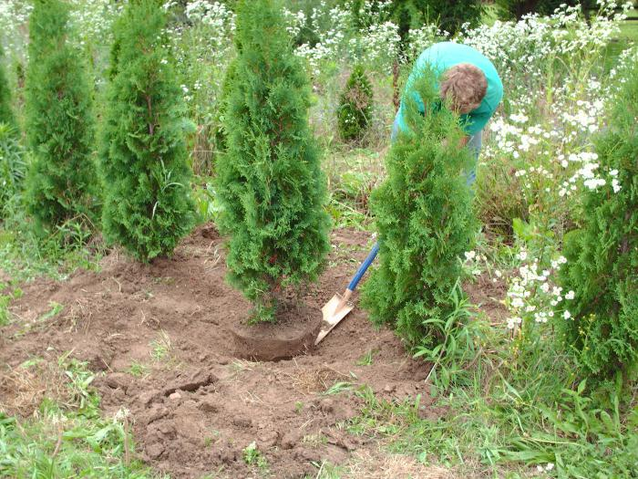 how to plant thuja in summer