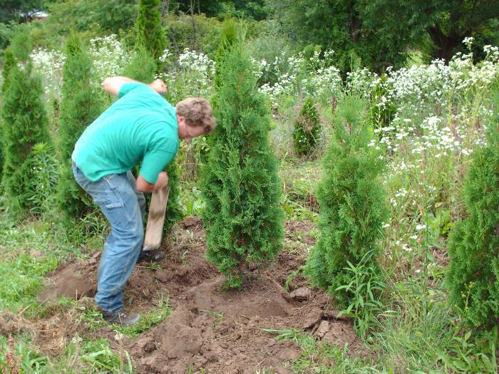 how to plant thuja in the fall