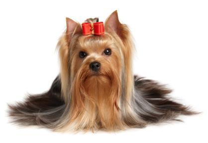 yorkshire terrier care and nutrition