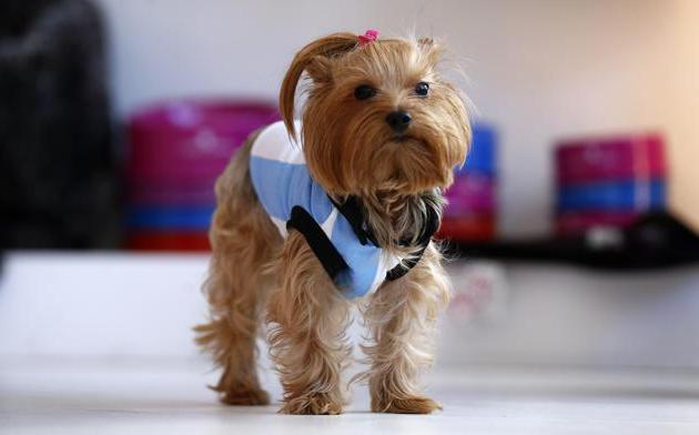 clothes for yorkshire terriers