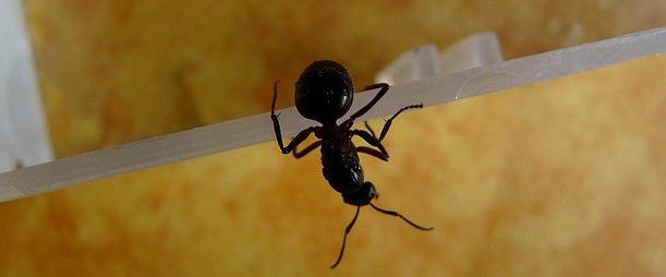 рыжие домашние муравьи как избавиться