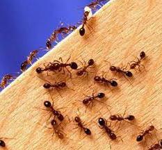 средство от домашних рыжих муравьев