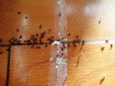 Рыжие домашние муравьи: как избавиться