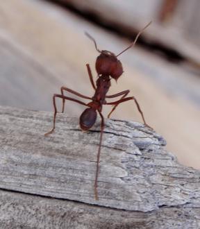 Рыжие домашние муравьи: как избавиться. Эффективное средство от домашних муравьев :: SYL.ru