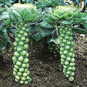 Как вырастить брюссельскую капусту? Брюссельская капуста: уход, фото