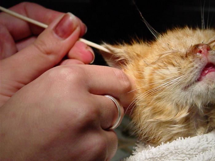 Как чистить уши котенку?