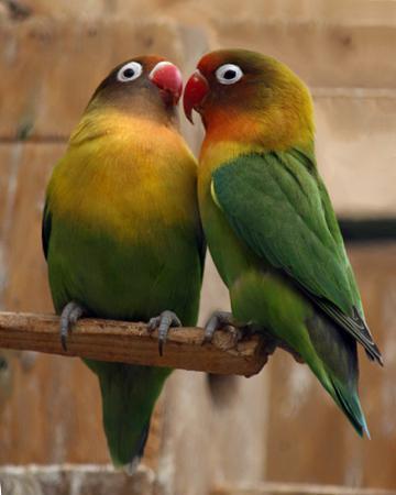 Уход за попугаями неразлучниками в домашних условиях