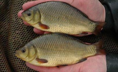 how best to catch a crucian