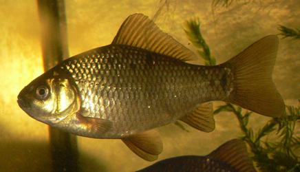 how to catch a fish crucian