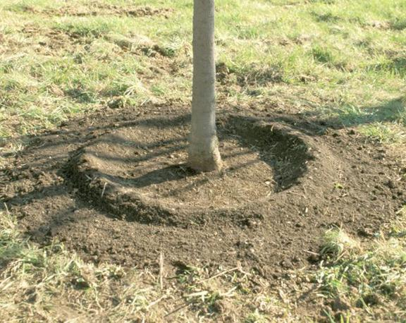 care for young apple trees