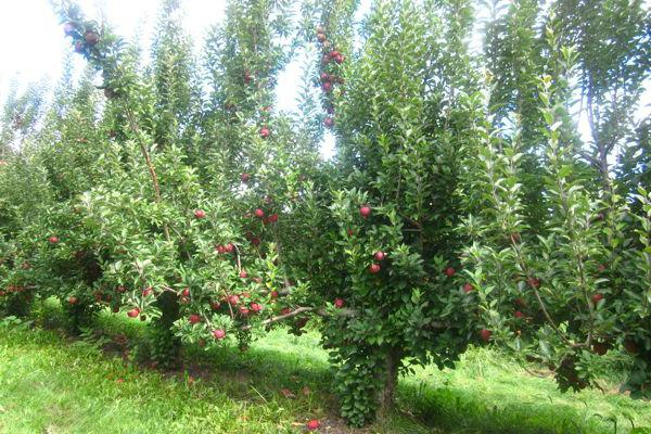 how to care for an apple tree