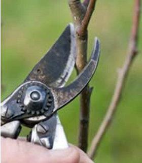 pruning apple