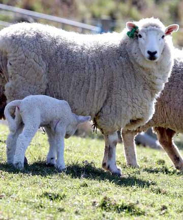 бизнес план овцеводство