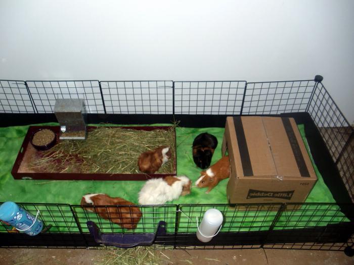 Домик для морской свинки фото