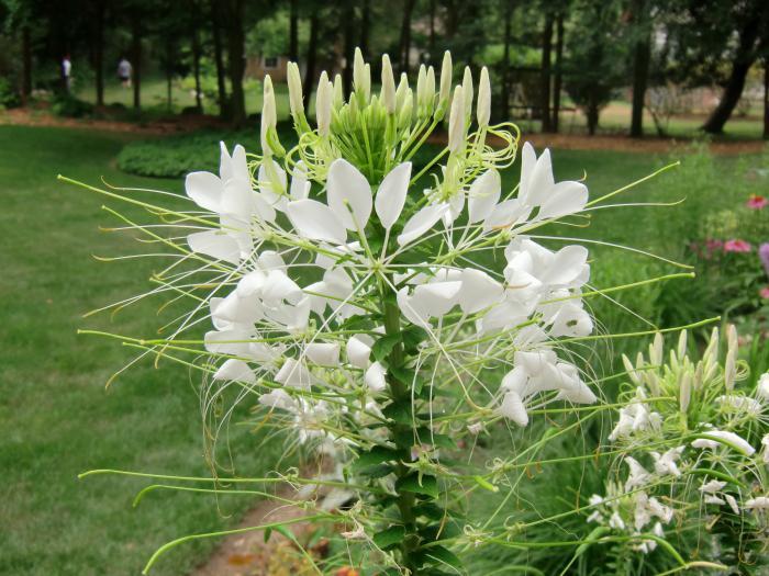 Цветок клеома уход