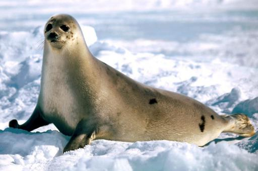 sea animal of the seal family