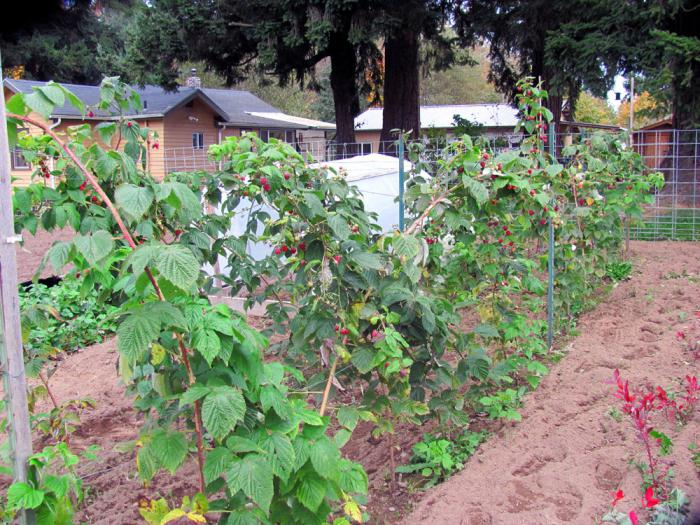 Когда сажают садовую малину