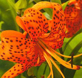 Тигровая лилия: посадка и уход в открытом грунте, размножение сорта, выращивание и сочетание в ландшафтном дизайне   фото