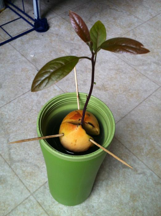 Как есть косточки авокадо дерево в домашних условиях