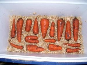 how to store carrots in the cellar