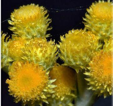 Бессмертник (цветок): полезные свойства, применение и противопоказания