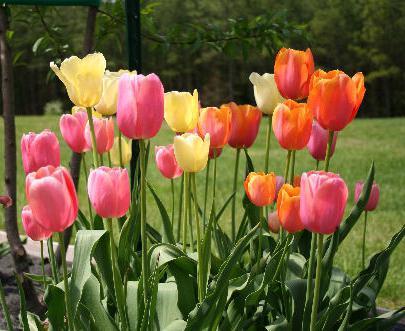 тюльпаны выращивание и уход