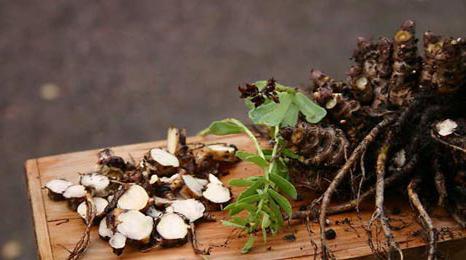 Золотой корень (родиола розовая): свойства, применение, противопоказания